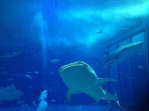 沖縄にツアーに行くなら!美ら海水族館は必見