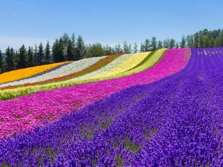 furano_lavender450-337.jpg