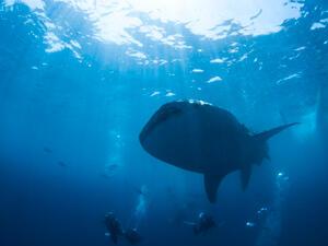 沖縄のダイビングでジンベイザメと泳ごう!